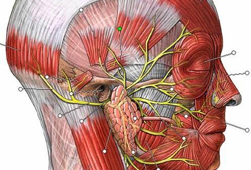 Articulacion Temporomandibular Que es y para que sirve